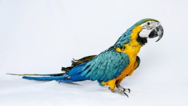 A blue and yellow Macaw.