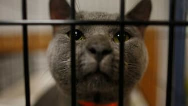 An abandoned or lost cat peers out from its cage in a Cedar Rapids animal shelter.