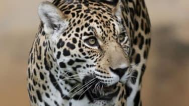 An onca pintada jaguar walks in the Jardim Zoo in Brasilia, Brazil