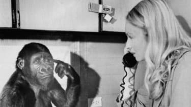 Koko the gorilla (with one of her keepers) was taught sign language when she was just a year old.