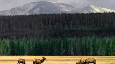 A herd of elk graze in the meadows of Yellowstone National Park in Wyoming.