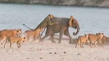 Brave baby elephant survives 14-lion attack