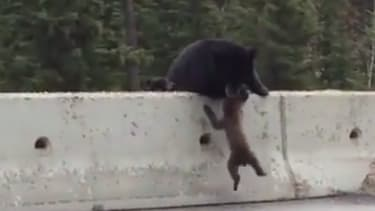 Hero mama bear rescues baby cub from Canadian highway