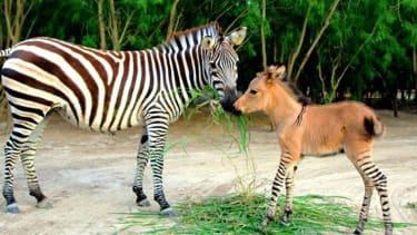 Meet the zonkey, an adorable donkey-zebra hybrid