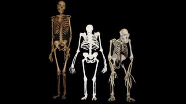 Australopithecus sediba skeleton