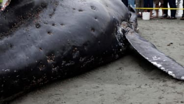 Fraternity members graffiti beached whale carcass