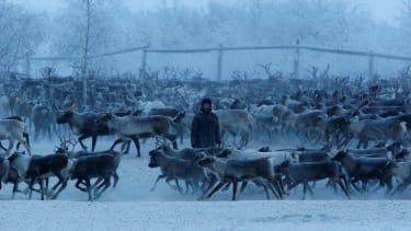 Herders select and sort reindeer inside an enclosure on Nov. 29, 2016.
