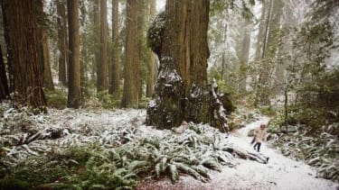 Poachers are destroying the California redwoods for contraband coffee tables