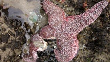 Sea Star disease