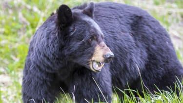 Black bear in woods.