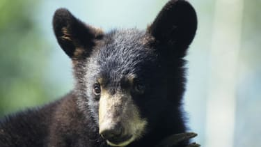 Florida is luring bears with donuts so it can count them