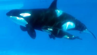 SeaWorld attendance is down. Is Blackfish to blame?
