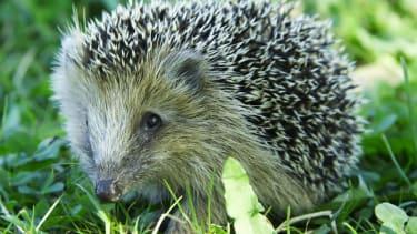 3 men arrested for illegal hedgehog hunting