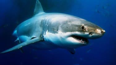 California surfer survives shark attack