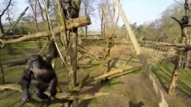 Tushi the chimp.