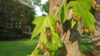 Cicadas.