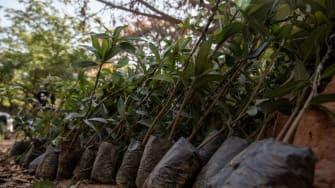 Seedlings in Ghana.