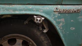 A lemur.