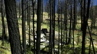 Burned wood in the Sierra Nevada range.