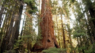A tree in California's Giant Sequoia National Monument.