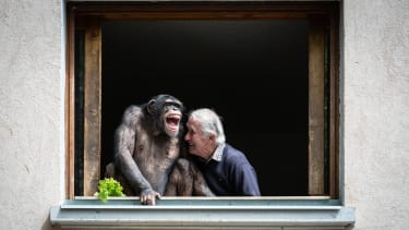 A man and a chimpanzee.