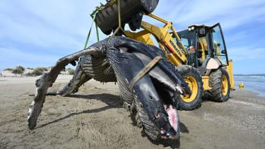 A dead whale.