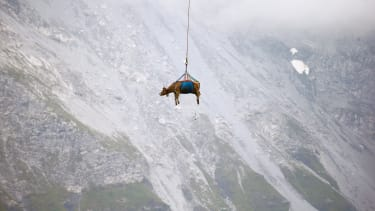 A dangling cow.