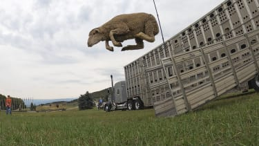 A leaping sheep.