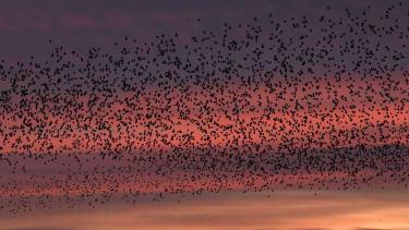 European starlings.