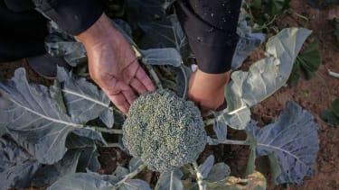 A person picks broccoli.