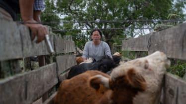 Treating cows for disease in Uruguay