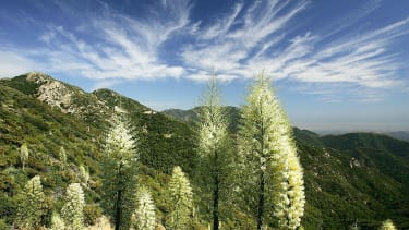 Wildflowers in the Angeles National Forest.