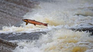 Salmon in a river.