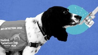 A COVID-detecting dog.